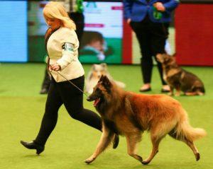 Show Champion Belguim Shepherd Tervueren - Dekker ©Wilson